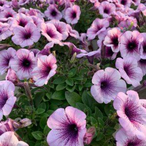 fiori e giardino ghisalba campana