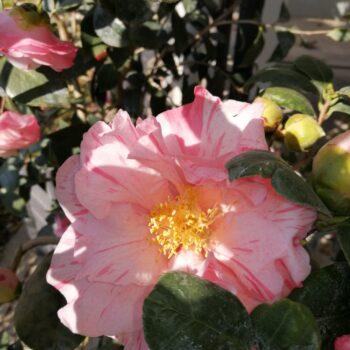 rosacee piante e fiori ghisalba
